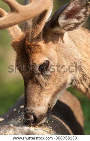 closeup portrait of a White-tailed deer eating