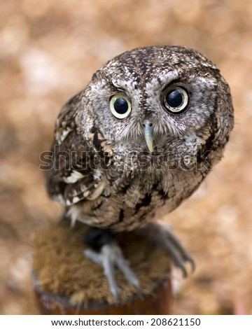 closeup portrait of a young screech owl - stock photo