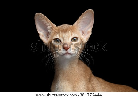 Closeup Portrait of Abyssinian Kitten Looking in Camera isolated on black background - stock photo