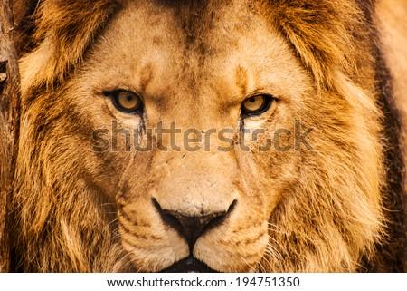 Closeup portrait of an African Lion - stock photo