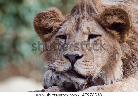 Closeup portrait of an African Lion in the zoo