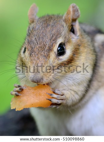 Closeup portrait of an older female chipmunk eating a piece of cantaloupe