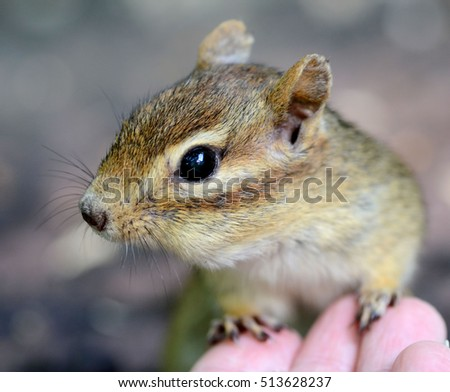 Closeup portrait of an older female chipmunk touching a hand in a trusting gesture