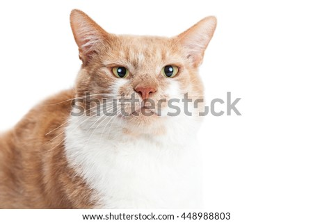 Closeup portrait of an orange and white cat with a funny expression