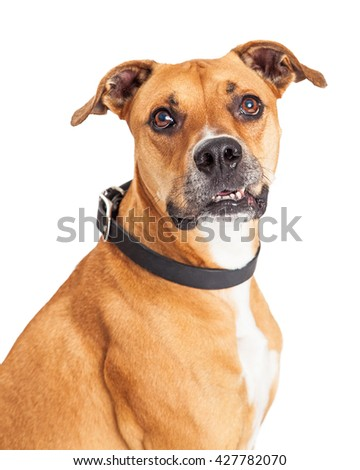 Closeup portrait of attentive friendly Boxer crossbreed dog on white, looking into camera