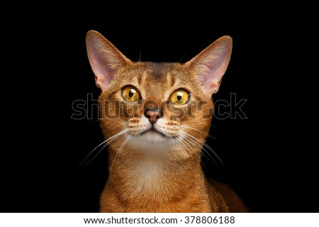 Closeup Portrait of beautiful Abyssinian cat Isolated on black background - stock photo