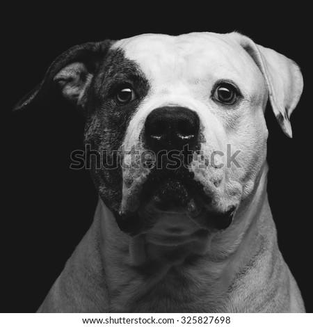 Closeup portrait of beautiful adult purebred american bulldog over black background - stock photo