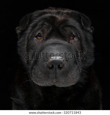 Closeup portrait of beautiful adult purebred shar pei over black background