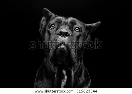 Closeup portrait of beautiful black Cane Corso female dog. Pure breed. Studio shot over black background. Copy space. - stock photo