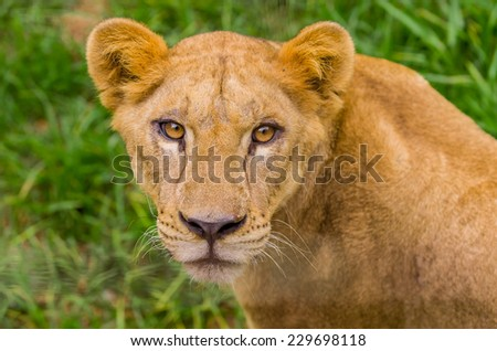closeup portrait of beautiful lioness against green grass background - stock photo