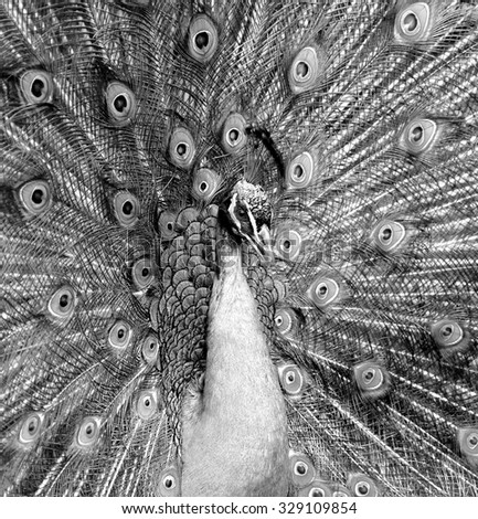 Closeup portrait of beautiful peacock (black and white) - stock photo