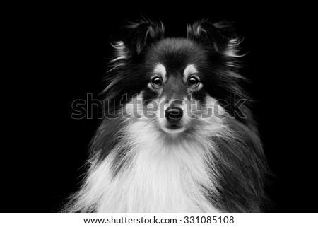 Closeup portrait of beautiful pure breeded Shetland Sheepdog. Over black background - stock photo