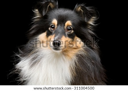 Closeup portrait of beautiful pure breeded tricolor Shetland Sheepdog. Over black background - stock photo