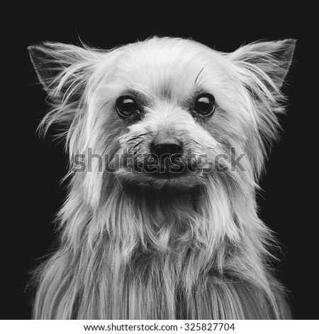 Closeup portrait of beautiful purebred yorkshire terrier over black background. Square shot - stock photo