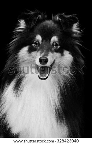 Closeup portrait of beautiful smiling pure breeded Shetland Sheepdog. Studio shot over black background - stock photo