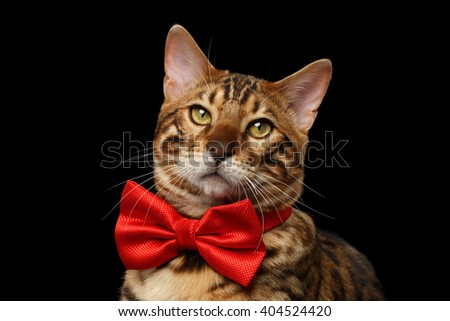 Closeup Portrait of Bengal Male Cat with bow tie Curiously Looking in Camera on Black Isolated Background - stock photo