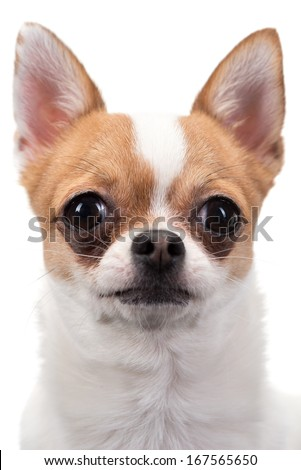 Closeup portrait of Chihuahua against white background - stock photo