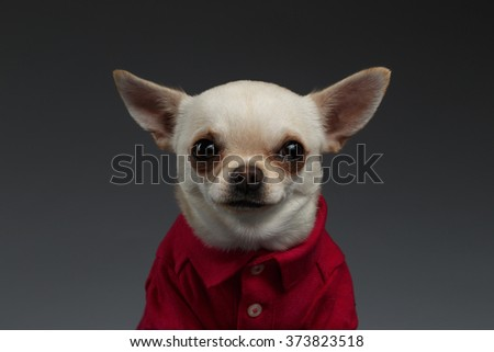 Closeup Portrait of Chihuahua dog in stylish red clothes. Blue background