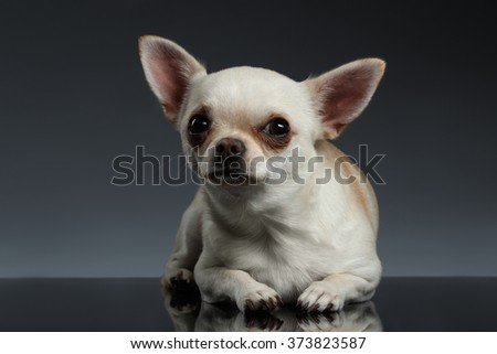 Closeup Portrait of Chihuahua dog Lying on Blue background