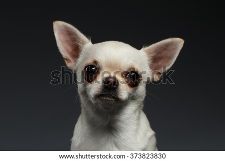 Closeup Portrait of Chihuahua dog on Blue background