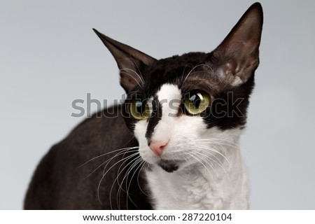 Closeup Portrait of Cornish Rex Cat Sits on White Background - stock photo