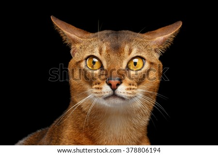 Closeup Portrait of curiosity Abyssinian cat Isolated on black background - stock photo