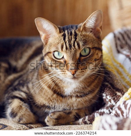 Closeup portrait of cute adorable tabby cat with stripes and yellow green eyes lying on a sofa couch with yellow brown blanket comforter on sunny day - stock photo
