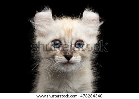 Closeup Portrait of Cute American Curl White Kitten with Twisted Ears and Blue eyes Looking Curious Isolated Black Background, Front view