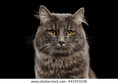 Closeup Portrait of Cute Kurilian Bobtail Cat with Yellow eyes Curious Looking in Camera, Isolated Black Background, Front view, Funny Cat Face, Adorable Cat - stock photo