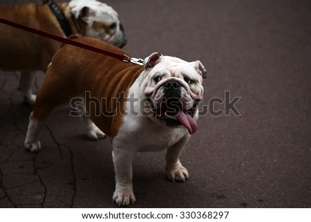 Closeup portrait of cute pet english bulldog with protruding tongue led on leash standing on asphalt pavement on other dog background, horizontal picture