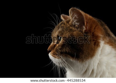 Closeup Portrait of Cute Scottish Straight Male Cat Face on Isolated Black Background, Side view, Looks in Profile Tabby with white Cat - stock photo