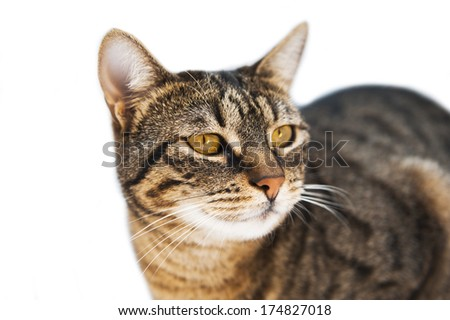 Closeup portrait of domestic brown-haired cat isolated on white background - stock photo