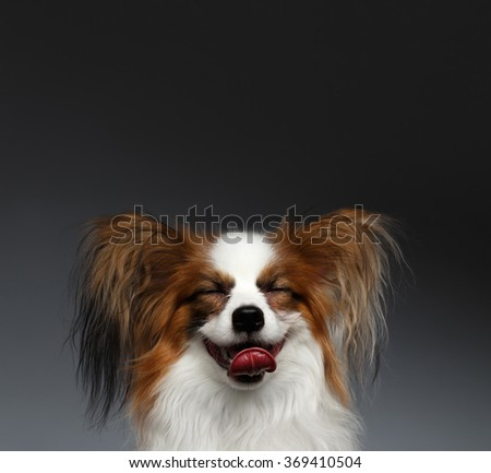 Closeup Portrait of Dreaming White Papillon Dog on black background - stock photo