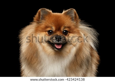 Closeup portrait of Fluffy Red Pomeranian Spitz Dog Looking in Camera isolated on Black Background, Front view - stock photo