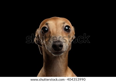 Closeup Portrait of Funny Italian Greyhound Dog Looking in Camera on Black isolated background, Front view - stock photo