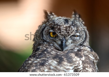Closeup portrait of funny looking great European Owl - stock photo