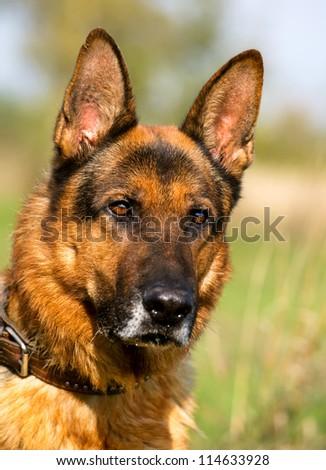 Closeup portrait of German Shepherd Dog - stock photo
