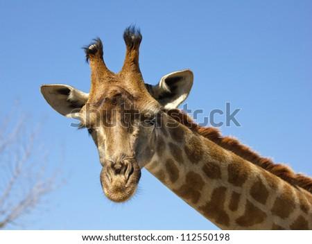 closeup portrait of giraffe against blue sky - stock photo