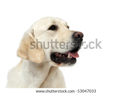 closeup portrait of Golden Retriever dog with open muzzle isolated - stock photo