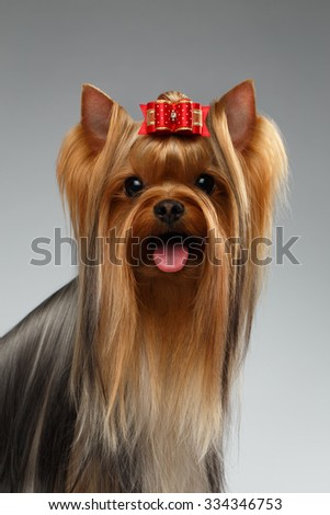 Closeup Portrait of Happy Yorkshire Terrier Dog on White background