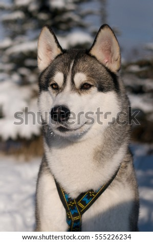 Closeup portrait of husky outdoor in winter