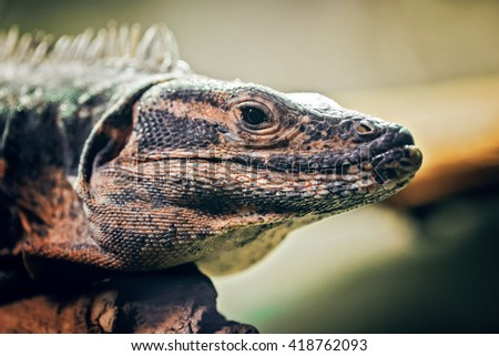Closeup portrait of  iguana on a tree in zoo, arboreal species of lizard reptile