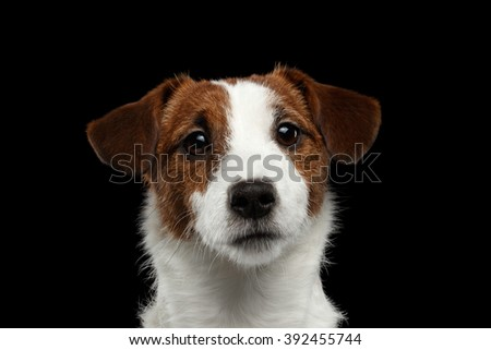 Closeup Portrait of Jack Russell Terrier Dog isolated on Black background - stock photo