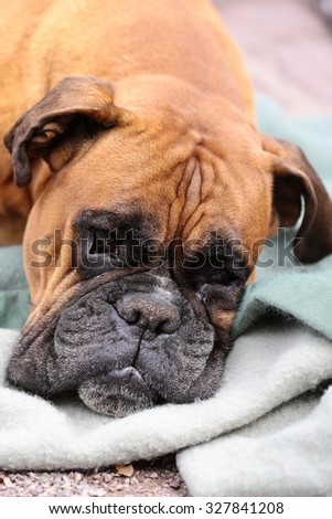 Closeup portrait of one large cute friendly pedigreed boxer pet with sweet kind look and sad eyes lying on grey blue blanket indoor, vertical picture