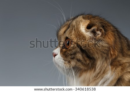 Closeup Portrait of Scottish Fold Cat on Gray Background, Profile view