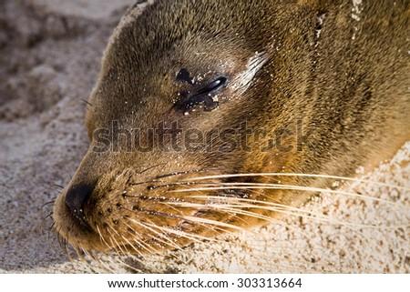 Closeup portrait of sea lion relaxing in a beach at the Galapagos Islands, Ecuador - stock photo