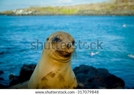 closeup portrait of sea lion's face looking at camera with sea on the backgroundgalapagos islands