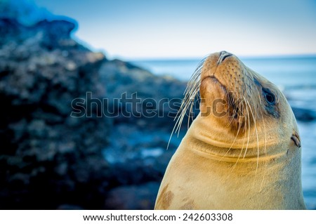 closeup portrait of sea lion's face looking up with sea on the backgroundgalapagos islands - stock photo