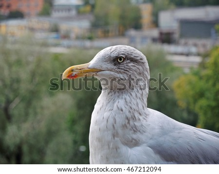 Closeup portrait of seagull