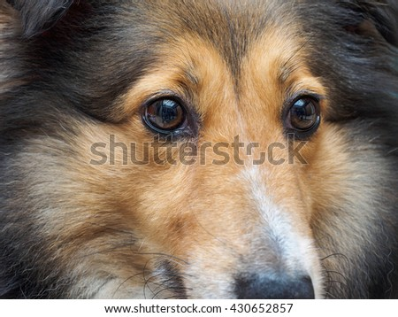 Closeup portrait of Shetland sheepdog, cute adult domestic animal, best friend for human, beautiful pedigreed dog face